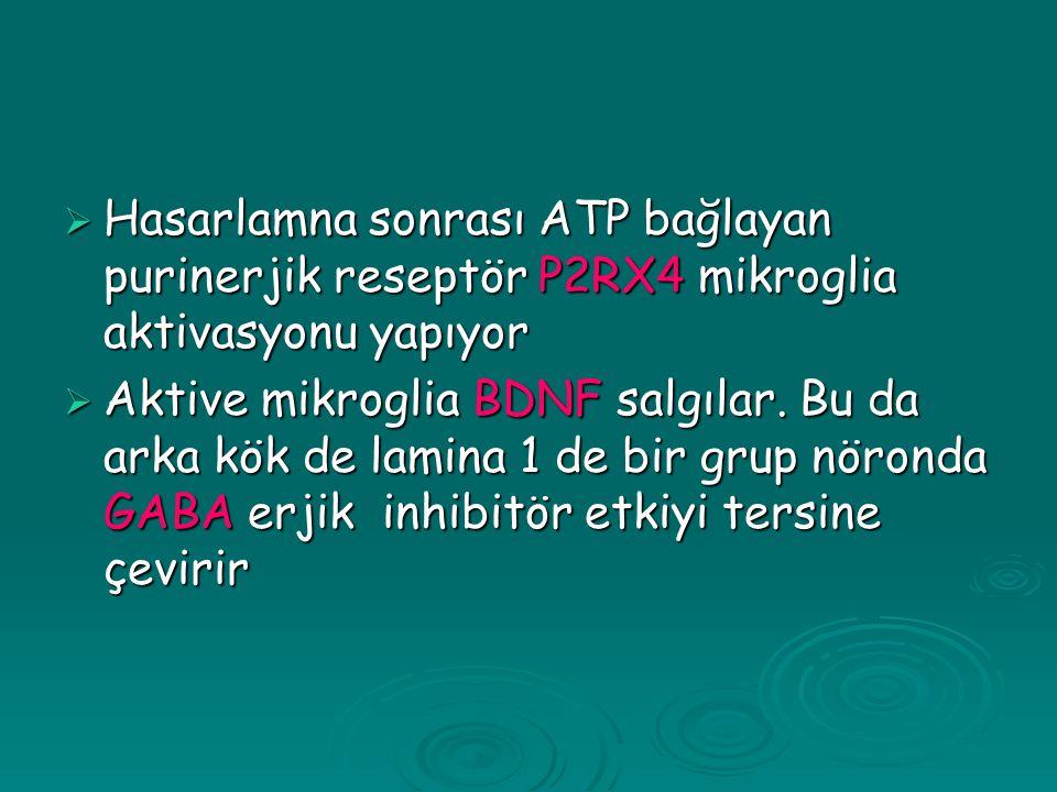  Hasarlamna sonrası ATP bağlayan purinerjik reseptör P2RX4 mikroglia aktivasyonu yapıyor  Aktive mikroglia BDNF salgılar.