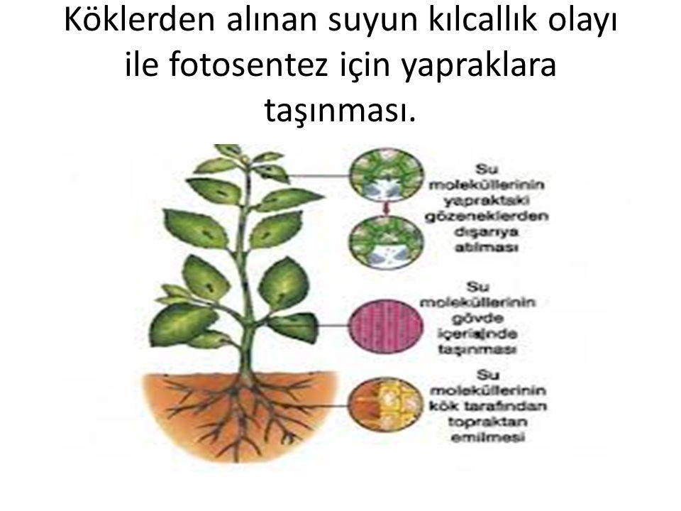 Köklerden alınan suyun kılcallık olayı ile fotosentez için yapraklara taşınması.
