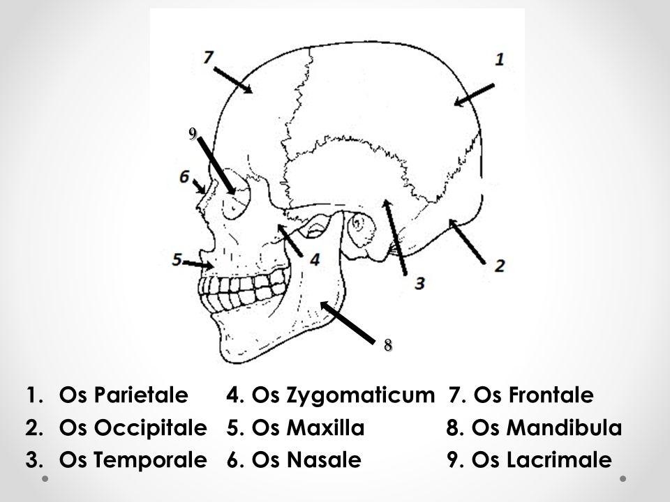 1.Os Parietale4. Os Zygomaticum 7. Os Frontale 2.Os Occipitale5. Os Maxilla 8. Os Mandibula 3.Os Temporale6. Os Nasale 9. Os Lacrimale 8 9
