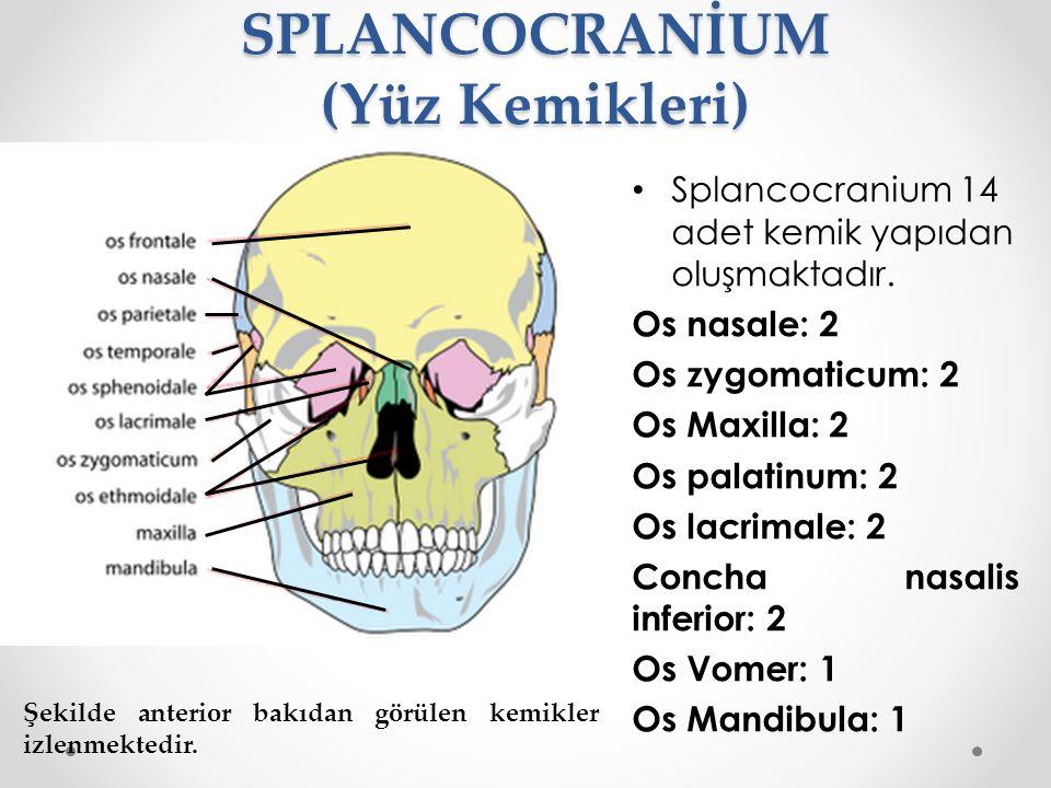 SPLANCOCRANİUM (Yüz Kemikleri) Splancocranium 14 adet kemik yapıdan oluşmaktadır. Os nasale: 2 Os zygomaticum: 2 Os Maxilla: 2 Os palatinum: 2 Os lacr