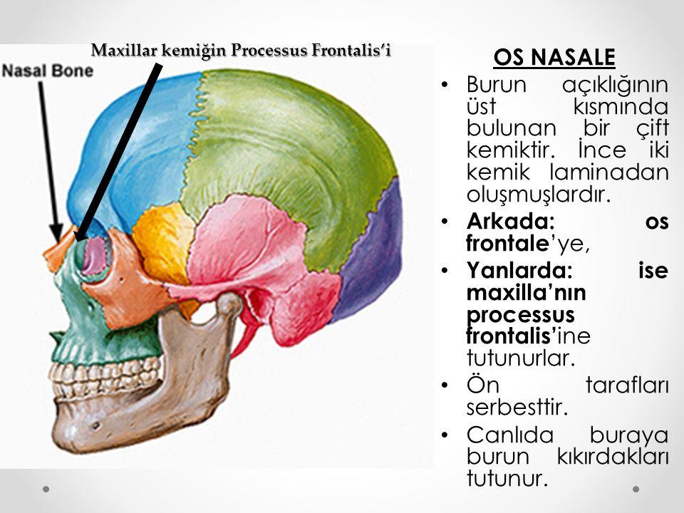 OS NASALE Burun açıklığının üst kısmında bulunan bir çift kemiktir. İnce iki kemik laminadan oluşmuşlardır. Arkada: os frontale 'ye, Yanlarda: ise max