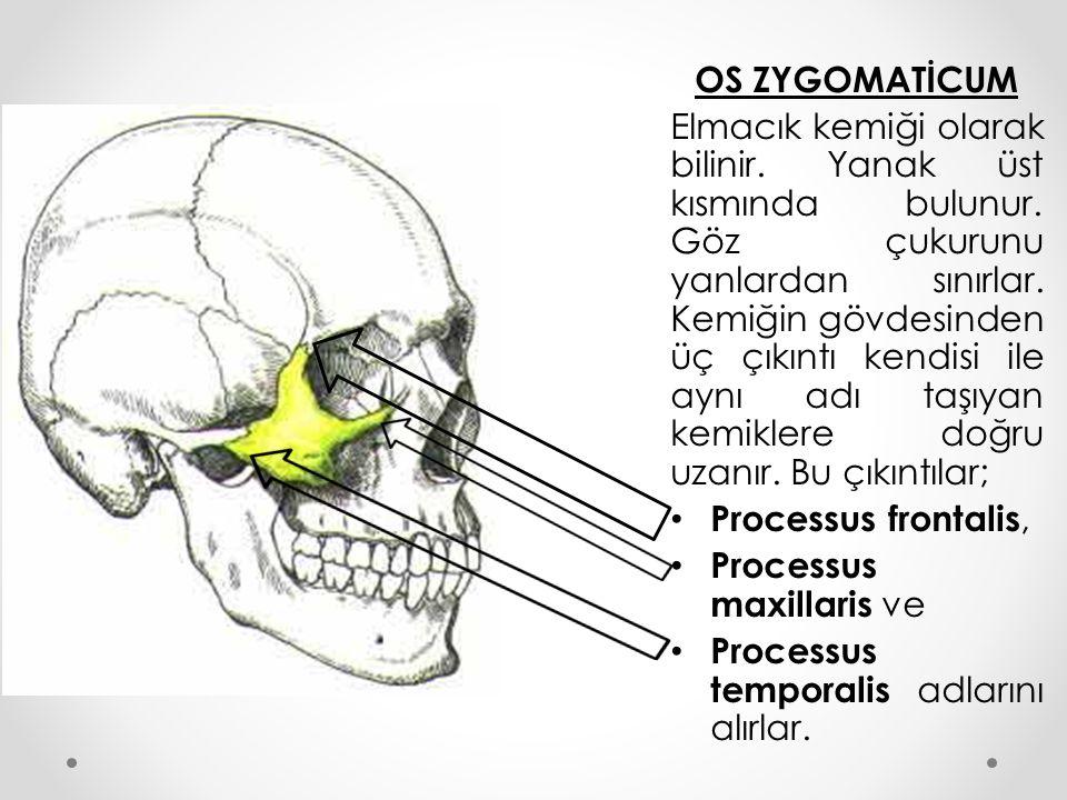 OS ZYGOMATİCUM Elmacık kemiği olarak bilinir. Yanak üst kısmında bulunur. Göz çukurunu yanlardan sınırlar. Kemiğin gövdesinden üç çıkıntı kendisi ile