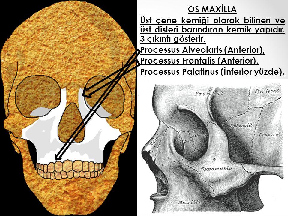 OS MAXİLLA Üst çene kemiği olarak bilinen ve üst dişleri barındıran kemik yapıdır. 3 çıkıntı gösterir. Processus Alveolaris (Anterior), Processus Fron