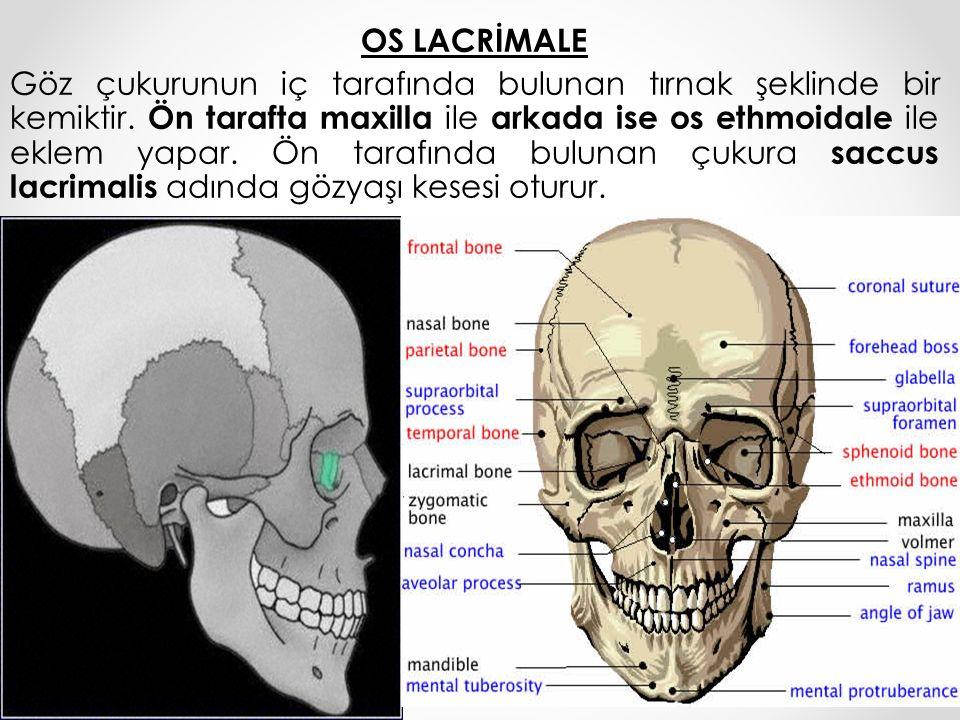 OS LACRİMALE Göz çukurunun iç tarafında bulunan tırnak şeklinde bir kemiktir. Ön tarafta maxilla ile arkada ise os ethmoidale ile eklem yapar. Ön tara