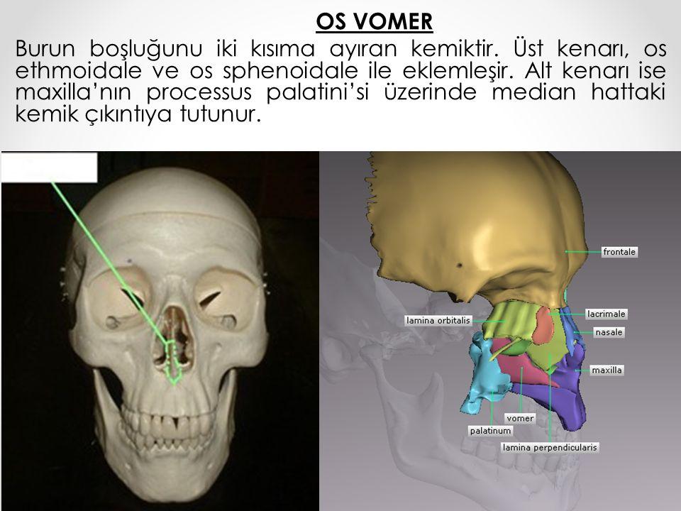OS VOMER Burun boşluğunu iki kısıma ayıran kemiktir. Üst kenarı, os ethmoidale ve os sphenoidale ile eklemleşir. Alt kenarı ise maxilla'nın processus