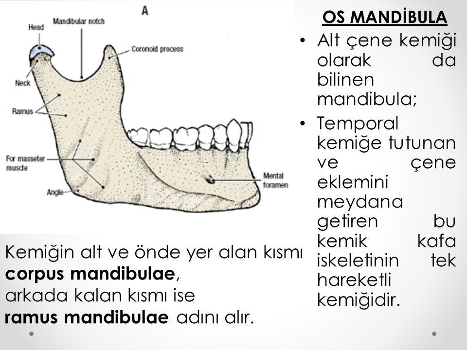 OS MANDİBULA Alt çene kemiği olarak da bilinen mandibula; Temporal kemiğe tutunan ve çene eklemini meydana getiren bu kemik kafa iskeletinin tek harek