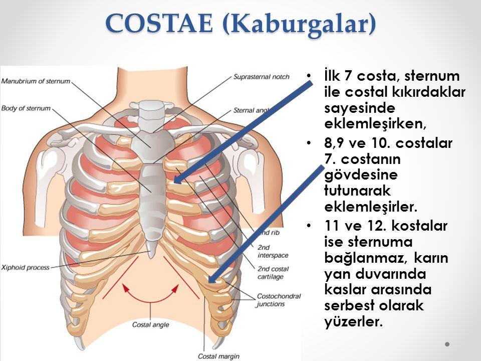 COSTAE (Kaburgalar) İlk 7 costa, sternum ile costal kıkırdaklar sayesinde eklemleşirken, 8,9 ve 10. costalar 7. costanın gövdesine tutunarak eklemleşi