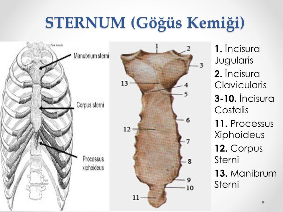 STERNUM (Göğüs Kemiği) 1. İncisura Jugularis 2. İncisura Clavicularis 3-10. İncisura Costalis 11. Processus Xiphoideus 12. Corpus Sterni 13. Manibrum