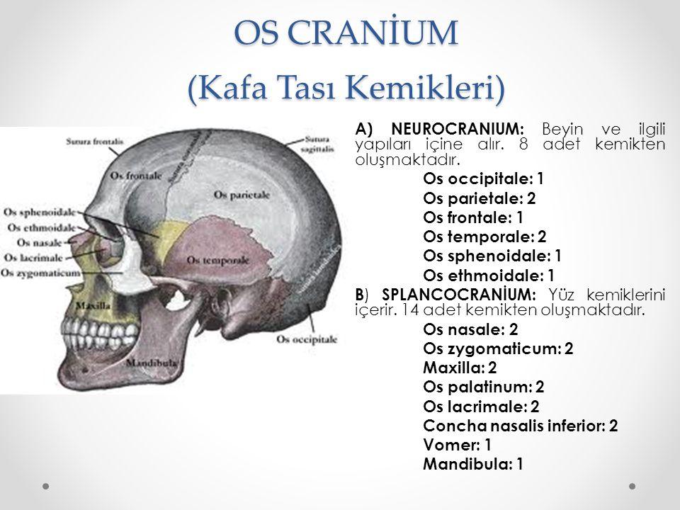 OS CRANİUM (Kafa Tası Kemikleri) A) NEUROCRANIUM: Beyin ve ilgili yapıları içine alır. 8 adet kemikten oluşmaktadır. Os occipitale: 1 Os parietale: 2