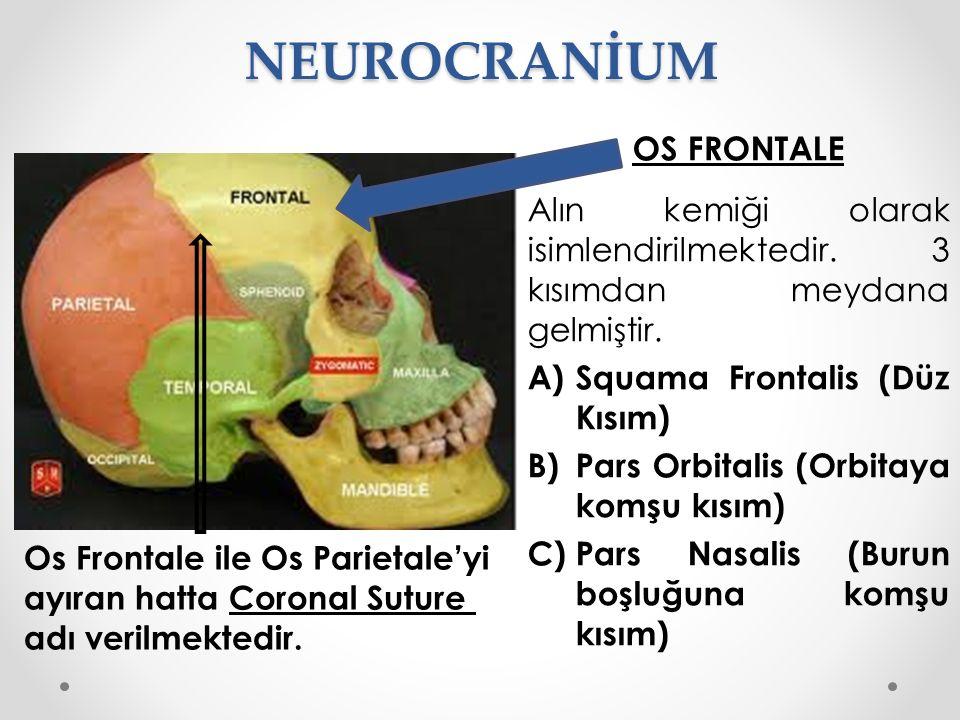NEUROCRANİUM OS FRONTALE Alın kemiği olarak isimlendirilmektedir. 3 kısımdan meydana gelmiştir. A)Squama Frontalis (Düz Kısım) B)Pars Orbitalis (Orbit