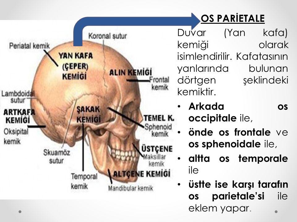 OS PARİETALE Duvar (Yan kafa) kemiği olarak isimlendirilir. Kafatasının yanlarında bulunan dörtgen şeklindeki kemiktir. Arkada os occipitale ile, önde