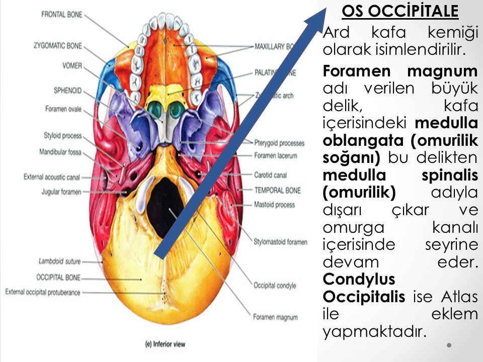 OS OCCİPİTALE Ard kafa kemiği olarak isimlendirilir. Foramen magnum adı verilen büyük delik, kafa içerisindeki medulla oblangata (omurilik soğanı) bu