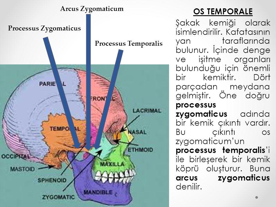 OS MANDİBULA Alt çene kemiği olarak da bilinen mandibula; Temporal kemiğe tutunan ve çene eklemini meydana getiren bu kemik kafa iskeletinin tek hareketli kemiğidir.