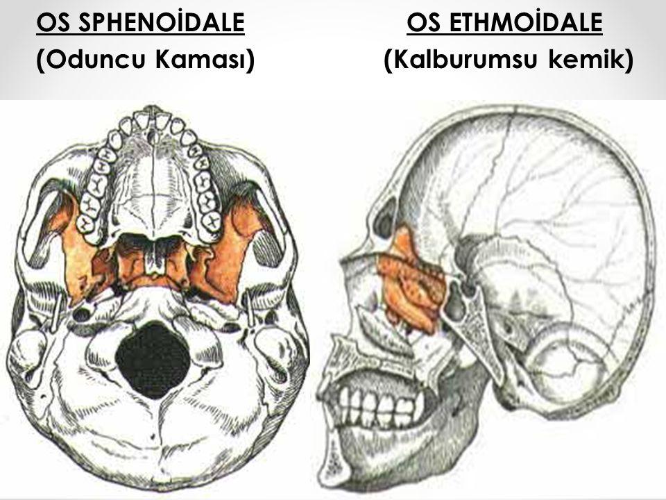 1.Os Parietale4.Os Zygomaticum 7. Os Frontale 2.Os Occipitale5.