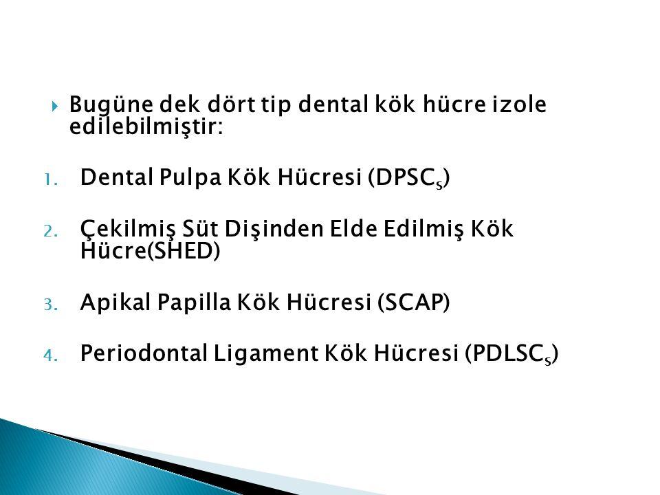  Bugüne dek dört tip dental kök hücre izole edilebilmiştir: 1. Dental Pulpa Kök Hücresi (DPSC s ) 2. Çekilmiş Süt Dişinden Elde Edilmiş Kök Hücre(SHE