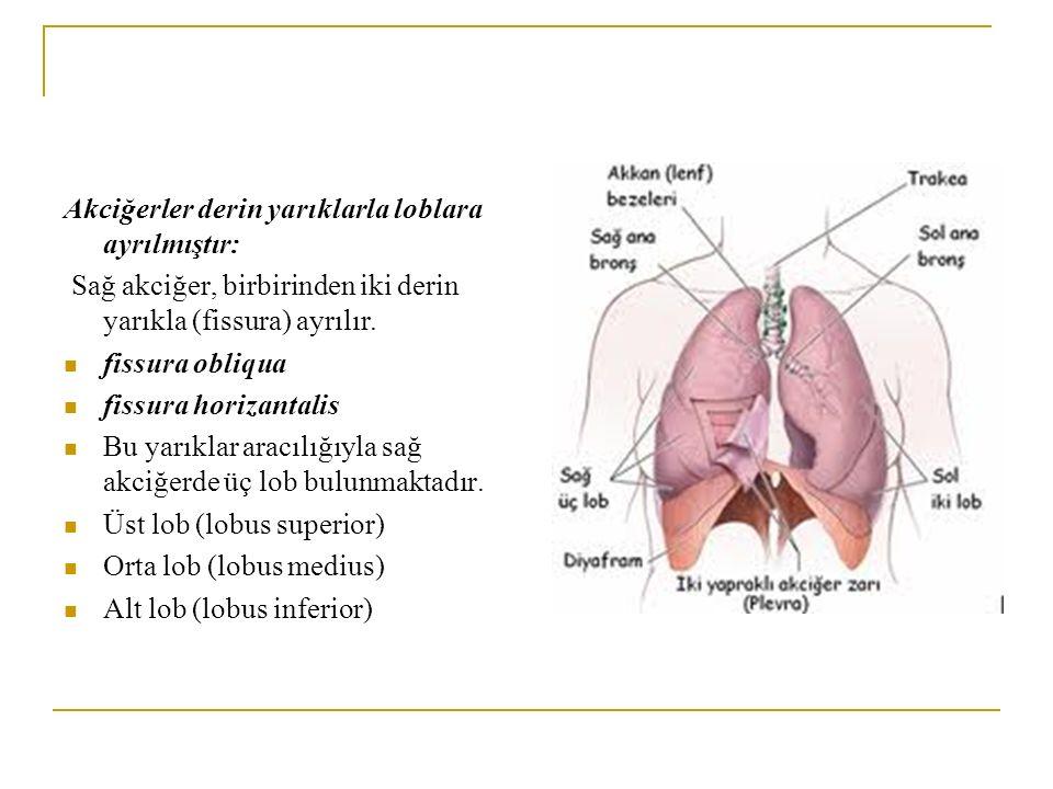 Akciğerler derin yarıklarla loblara ayrılmıştır: Sağ akciğer, birbirinden iki derin yarıkla (fissura) ayrılır. fissura obliqua fissura horizantalis Bu