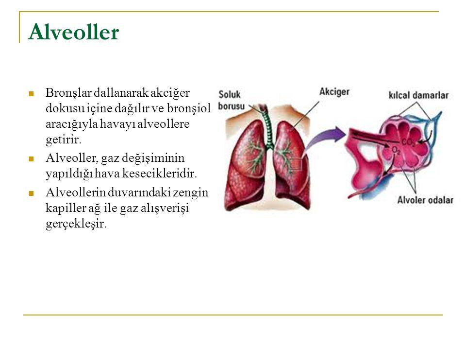 Alveoller Bronşlar dallanarak akciğer dokusu içine dağılır ve bronşioller aracığıyla havayı alveollere getirir.