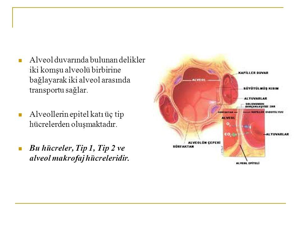 Alveol duvarında bulunan delikler iki komşu alveolü birbirine bağlayarak iki alveol arasında transportu sağlar. Alveollerin epitel katı üç tip hücrele