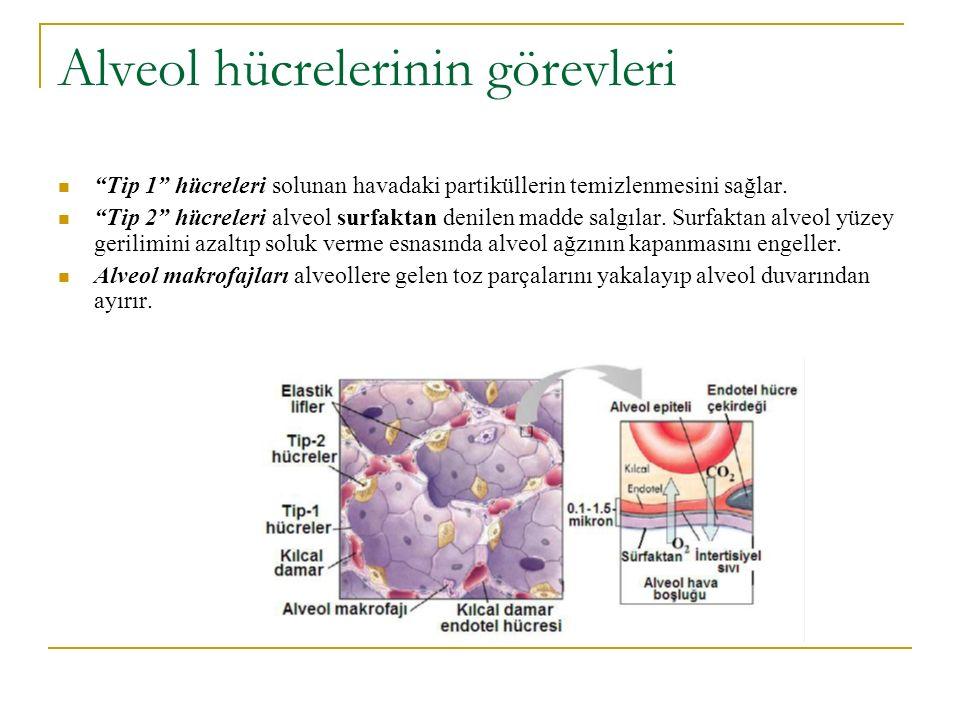 """Alveol hücrelerinin görevleri """"Tip 1"""" hücreleri solunan havadaki partiküllerin temizlenmesini sağlar. """"Tip 2"""" hücreleri alveol surfaktan denilen madde"""