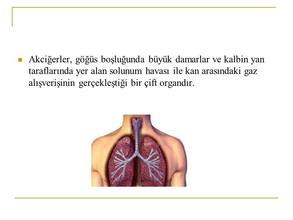 Akciğerler, göğüs boşluğunda büyük damarlar ve kalbin yan taraflarında yer alan solunum havası ile kan arasındaki gaz alışverişinin gerçekleştiği bir