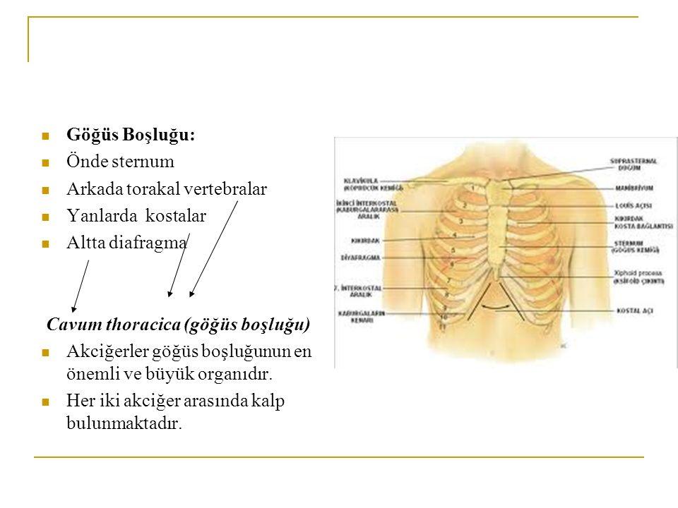 Göğüs Boşluğu: Önde sternum Arkada torakal vertebralar Yanlarda kostalar Altta diafragma Cavum thoracica (göğüs boşluğu) Akciğerler göğüs boşluğunun en önemli ve büyük organıdır.