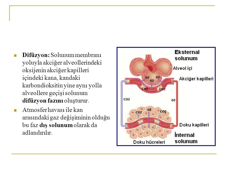 Difüzyon: Solunum membranı yoluyla akciğer alveollerindeki oksijenin akciğer kapilleri içindeki kana, kandaki karbondioksitin yine aynı yolla alveolle