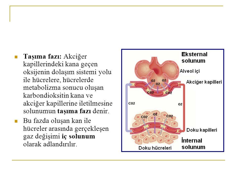 Taşıma fazı: Akciğer kapillerindeki kana geçen oksijenin dolaşım sistemi yolu ile hücrelere, hücrelerde metabolizma sonucu oluşan karbondioksitin kana