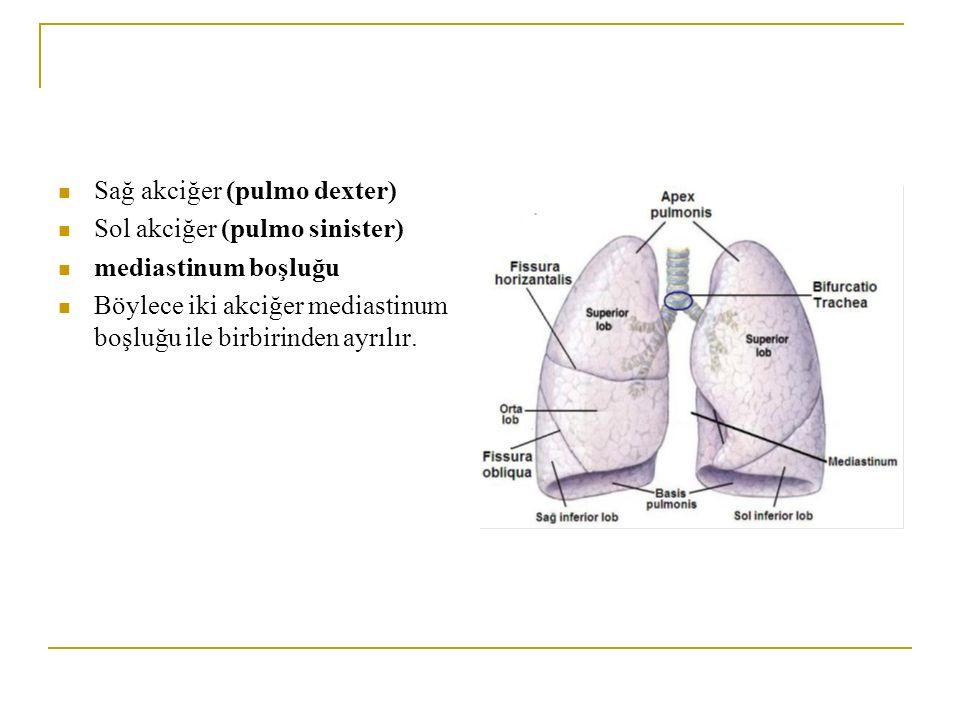 Sağ akciğer (pulmo dexter) Sol akciğer (pulmo sinister) mediastinum boşluğu Böylece iki akciğer mediastinum boşluğu ile birbirinden ayrılır.