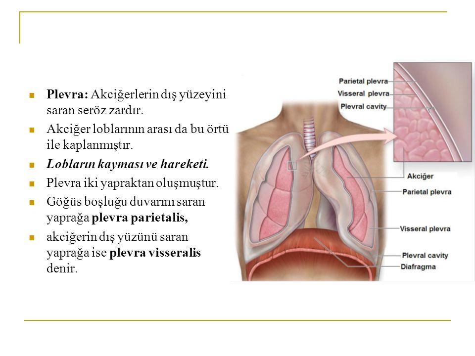 Plevra: Akciğerlerin dış yüzeyini saran seröz zardır. Akciğer loblarının arası da bu örtü ile kaplanmıştır. Lobların kayması ve hareketi. Plevra iki y