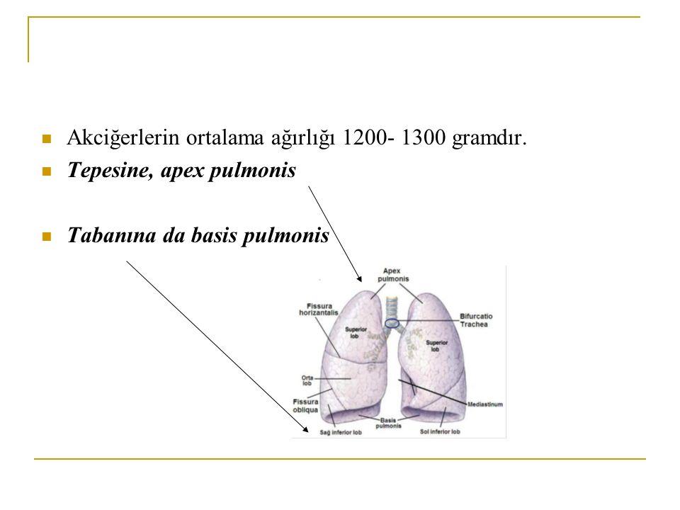 Akciğerlerin ortalama ağırlığı 1200- 1300 gramdır. Tepesine, apex pulmonis Tabanına da basis pulmonis