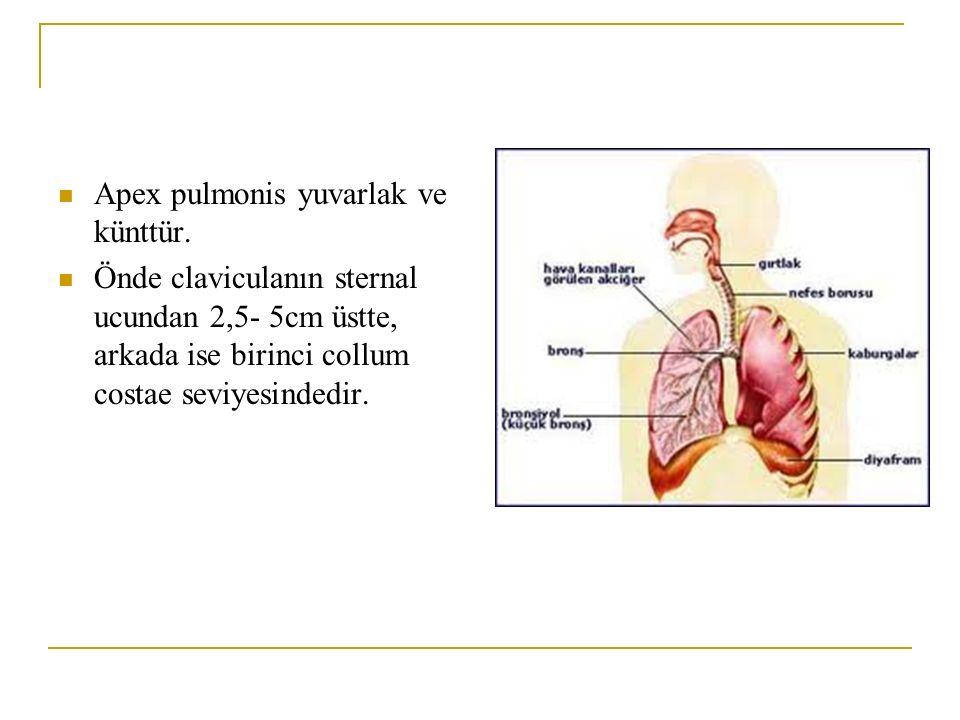 Apex pulmonis yuvarlak ve künttür. Önde claviculanın sternal ucundan 2,5- 5cm üstte, arkada ise birinci collum costae seviyesindedir.