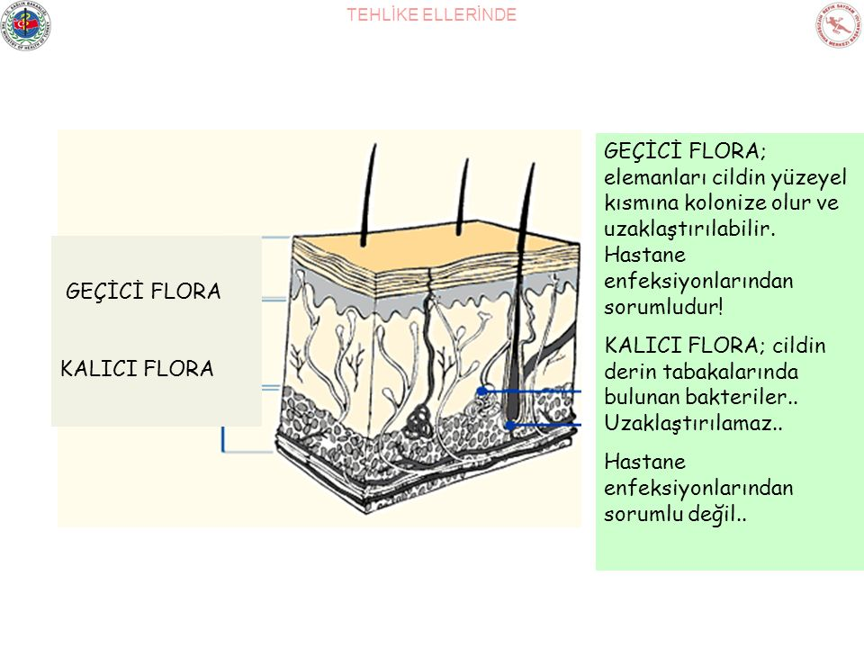 TEHLİKE ELLERİNDE GEÇİCİ FLORA KALICI FLORA GEÇİCİ FLORA; elemanları cildin yüzeyel kısmına kolonize olur ve uzaklaştırılabilir. Hastane enfeksiyonlar