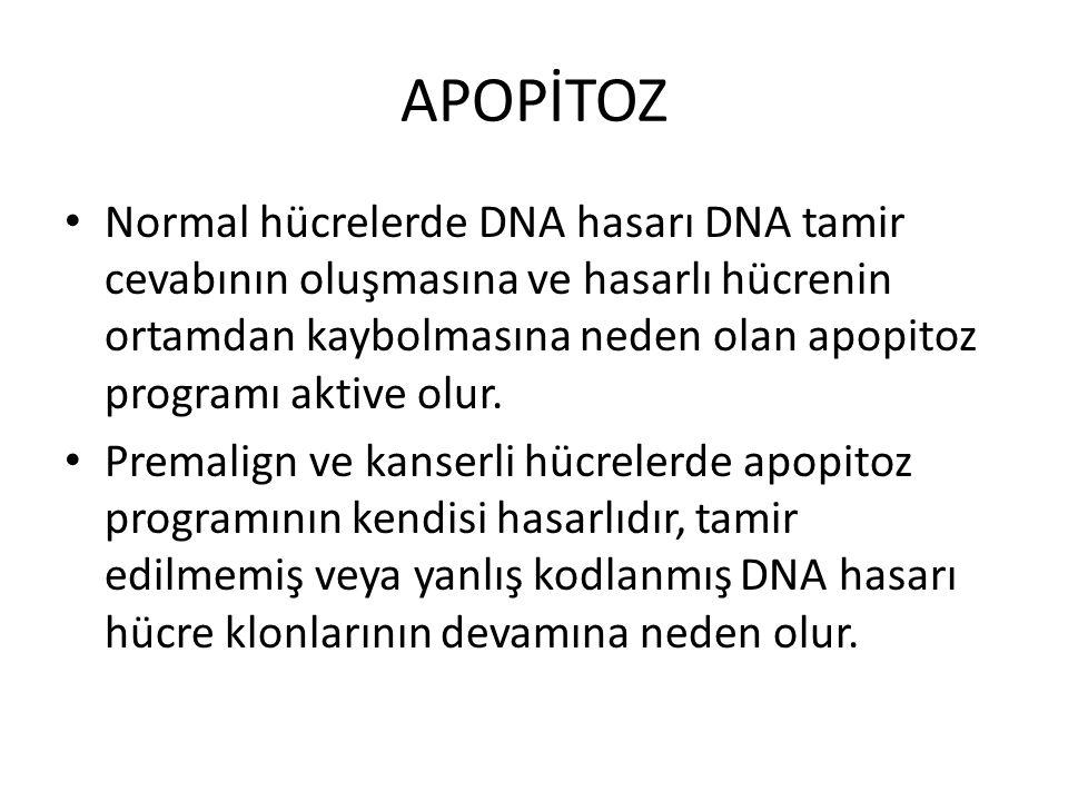 APOPİTOZ Normal hücrelerde DNA hasarı DNA tamir cevabının oluşmasına ve hasarlı hücrenin ortamdan kaybolmasına neden olan apopitoz programı aktive olu
