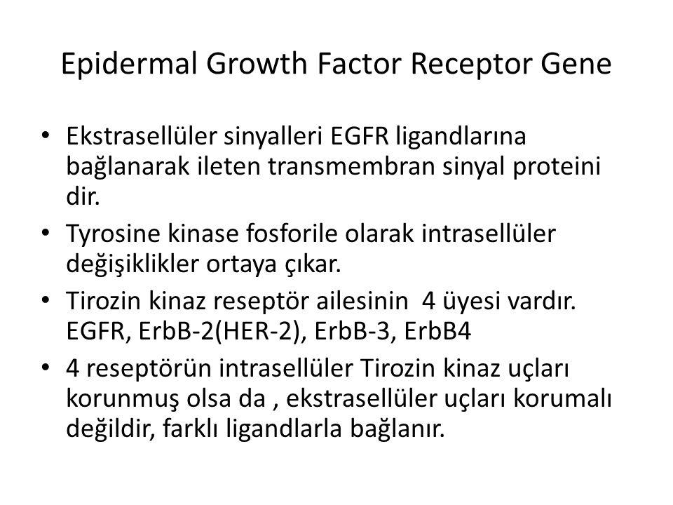 Epidermal Growth Factor Receptor Gene Ekstrasellüler sinyalleri EGFR ligandlarına bağlanarak ileten transmembran sinyal proteini dir. Tyrosine kinase