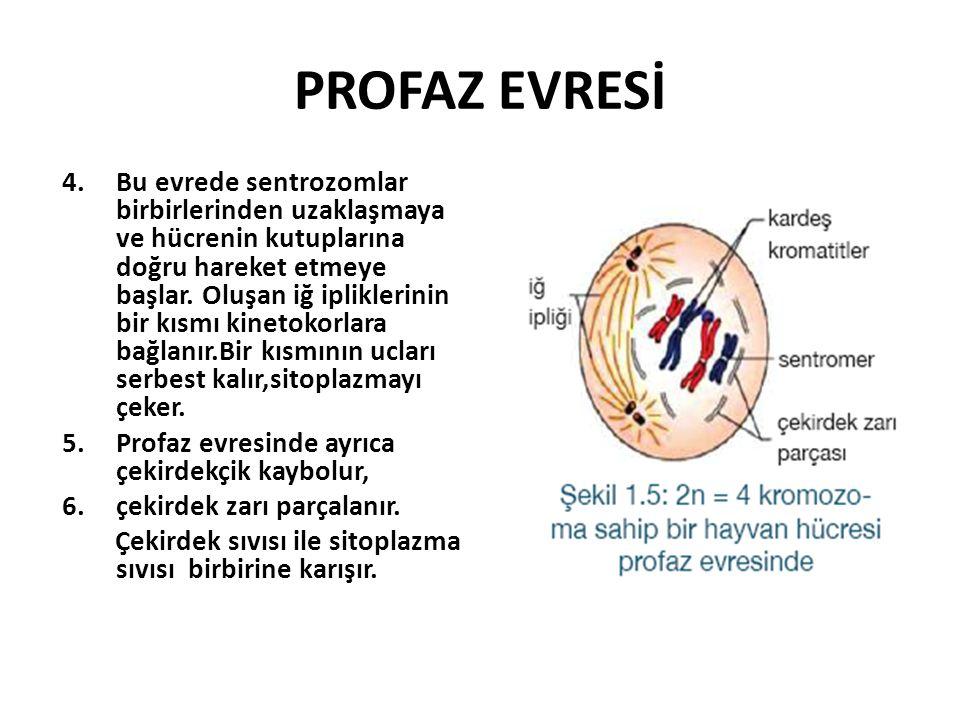 PROFAZ EVRESİ 4.Bu evrede sentrozomlar birbirlerinden uzaklaşmaya ve hücrenin kutuplarına doğru hareket etmeye başlar.