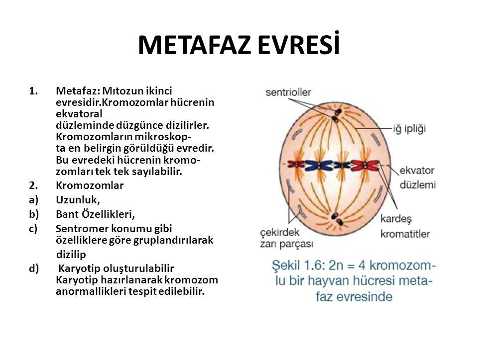 METAFAZ EVRESİ 1.Metafaz: Mıtozun ikinci evresidir.Kromozomlar hücrenin ekvatoral düzleminde düzgünce dizilirler.