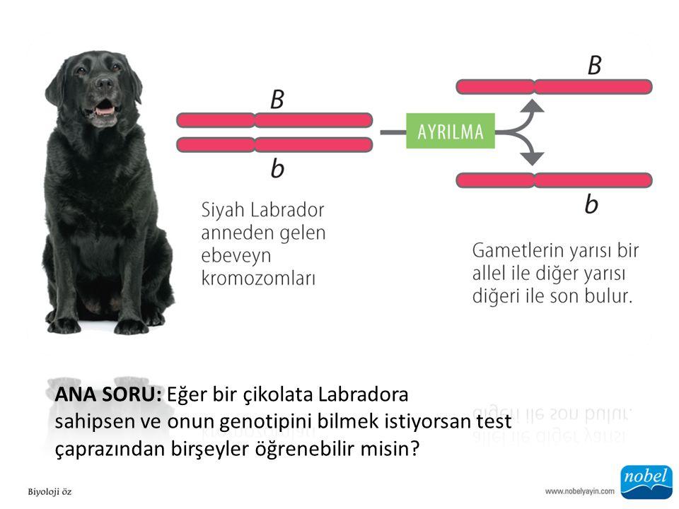 ANA SORU: Eğer bir çikolata Labradora sahipsen ve onun genotipini bilmek istiyorsan test çaprazından birşeyler öğrenebilir misin