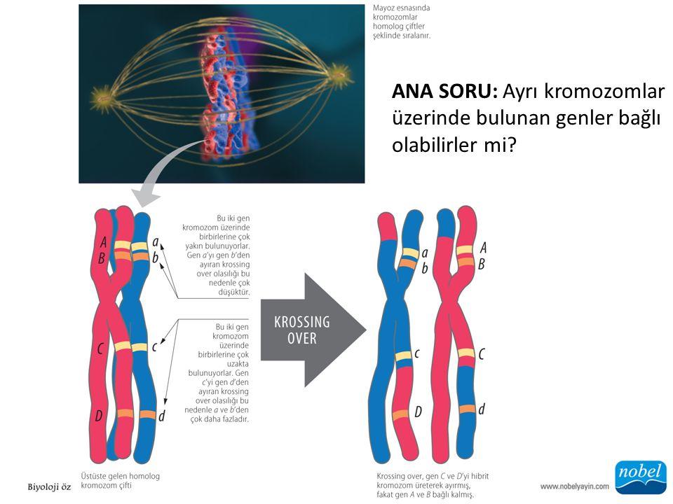 ANA SORU: Ayrı kromozomlar üzerinde bulunan genler bağlı olabilirler mi