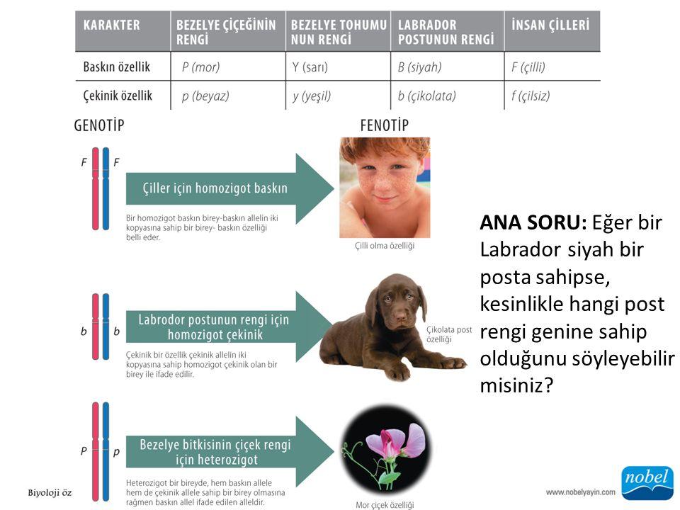 ANA SORU: Eğer bir Labrador siyah bir posta sahipse, kesinlikle hangi post rengi genine sahip olduğunu söyleyebilir misiniz