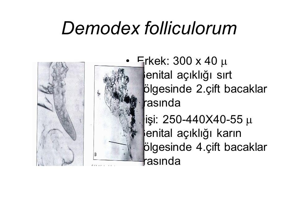 Demodex folliculorum Erkek: 300 x 40  Genital açıklığı sırt bölgesinde 2.çift bacaklar arasında Dişi: 250-440X40-55  Genital açıklığı karın bölgesin