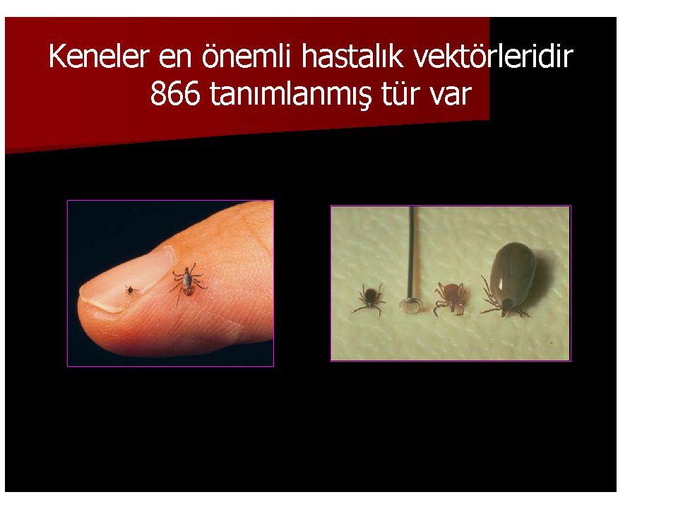Demodex folliculorum Yumurta 60-80 x 40-50 