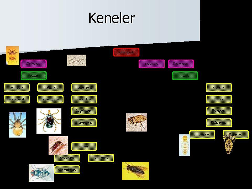 Demodex folliculorum Akne rosesea Akne vulgaris Blefarit Nasolabial sulcus, çene,kirpik,alın...