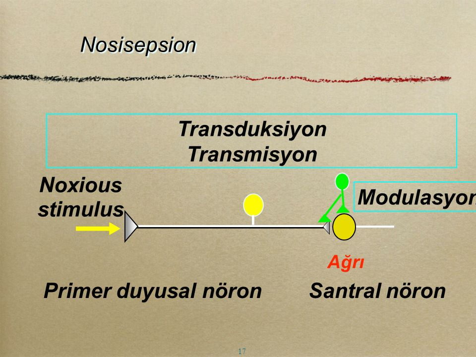 Noxious stimulus Transduksiyon Transmisyon Primer duyusal nöron Santral nöron Modulasyon Nosisepsion Ağrı 17