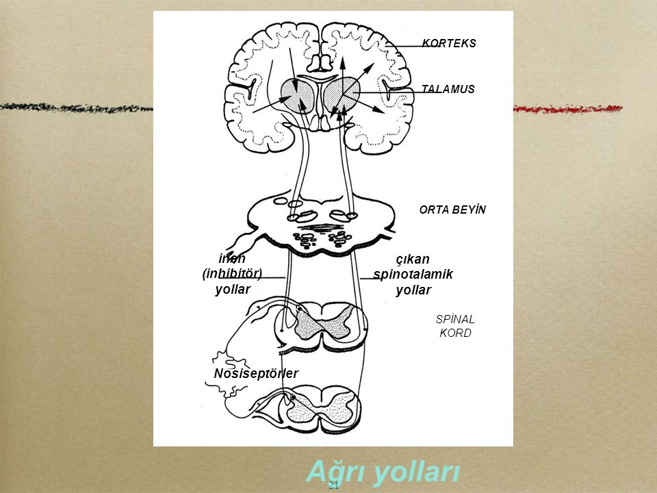 KORTEKS TALAMUS ORTA BEYİN çıkan spinotalamik yollar SPİNAL KORD inen (inhibitör) yollar Nosiseptörler Ağrı yolları 21