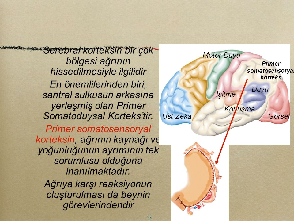 Serebral korteksin bir çok bölgesi ağrının hissedilmesiyle ilgilidir En önemlilerinden biri, santral sulkusun arkasına yerleşmiş olan Primer Somatoduy