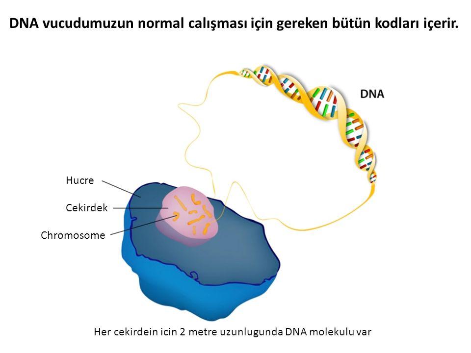 DNA vucudumuzun normal calışması için gereken bütün kodları içerir. Her cekirdein icin 2 metre uzunlugunda DNA molekulu var Hucre Cekirdek Chromosome