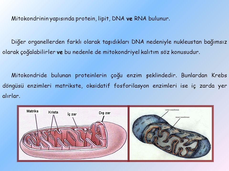 Mitokondrinin yapısında protein, lipit, DNA ve RNA bulunur. Diğer organellerden farklı olarak taşıdıkları DNA nedeniyle nukleustan bağımsız olarak çoğ