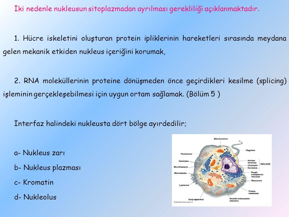 İki nedenle nukleusun sitoplazmadan ayrılması gerekliliği açıklanmaktadır. 1. Hücre iskeletini oluşturan protein ipliklerinin hareketleri sırasında me
