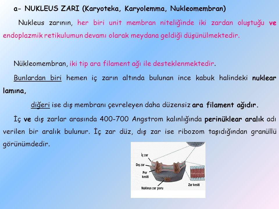 a- NUKLEUS ZARI (Karyoteka, Karyolemma, Nukleomembran) Nukleus zarının, her biri unit membran niteliğinde iki zardan oluştuğu ve endoplazmik retikulum