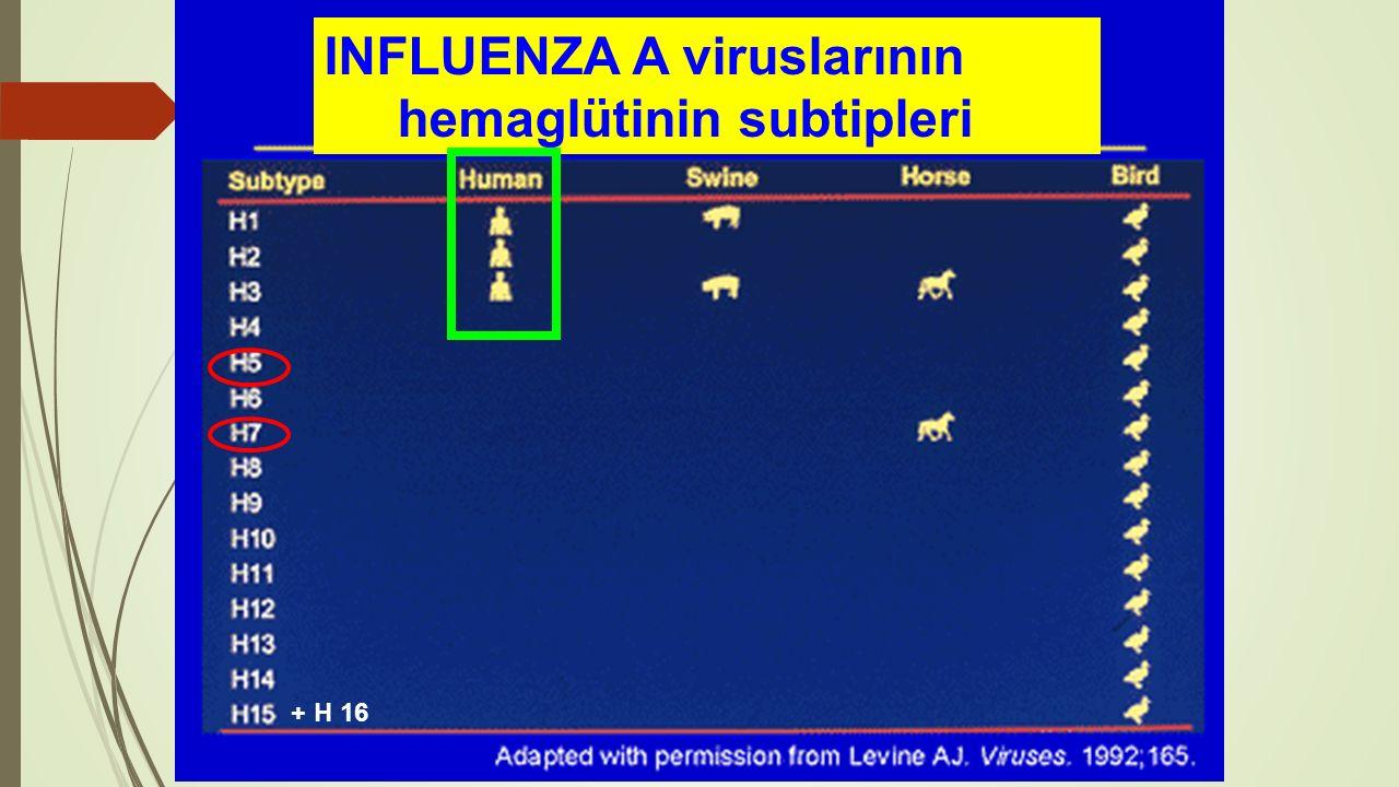 + H 16 INFLUENZA A viruslarının hemaglütinin subtipleri